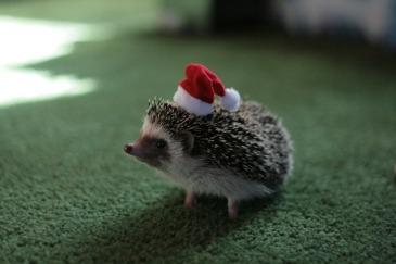karácsonyi süni